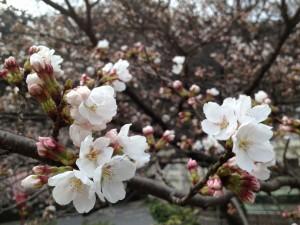 3月25日時点の桜の様子。なんだかとても癒されます(*´∀`*)