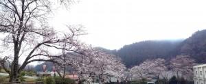 大広間の外から眺める桜の様子です。この週末に宴会予約していらっしゃる方は羨ましいな。特に夜桜は最高だと思います(*´∀`*)