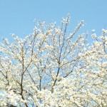 清嵐荘さくら。綺麗です(^^)